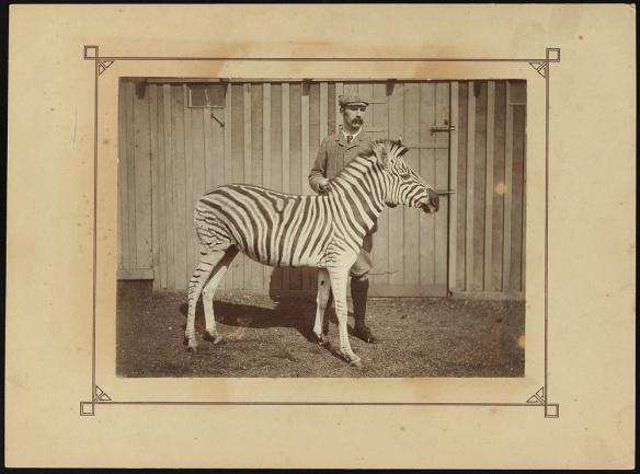 J.C Ewart with Burchell's zebra c.1900