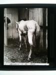 Spirilosis in Horse