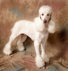 Poodle_free